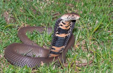 Мозамбіцька кобра