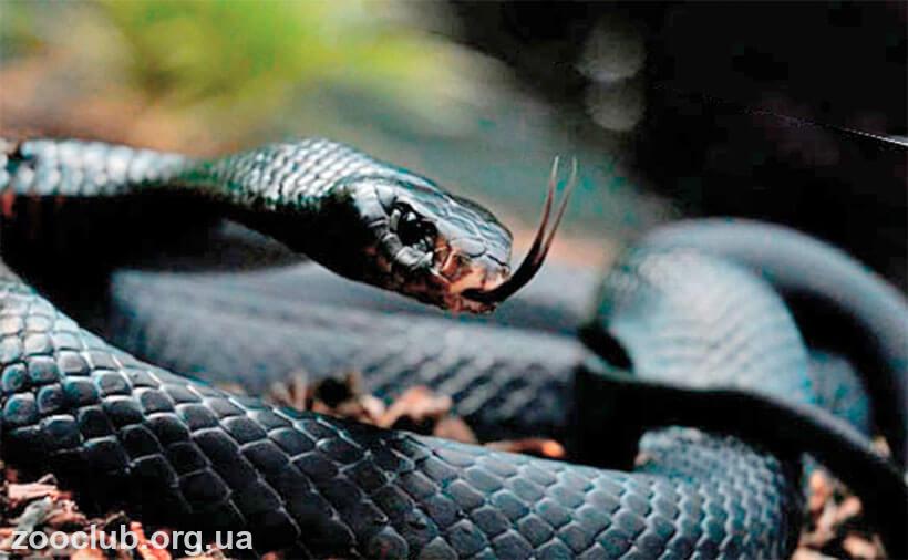 кобра черношеяя
