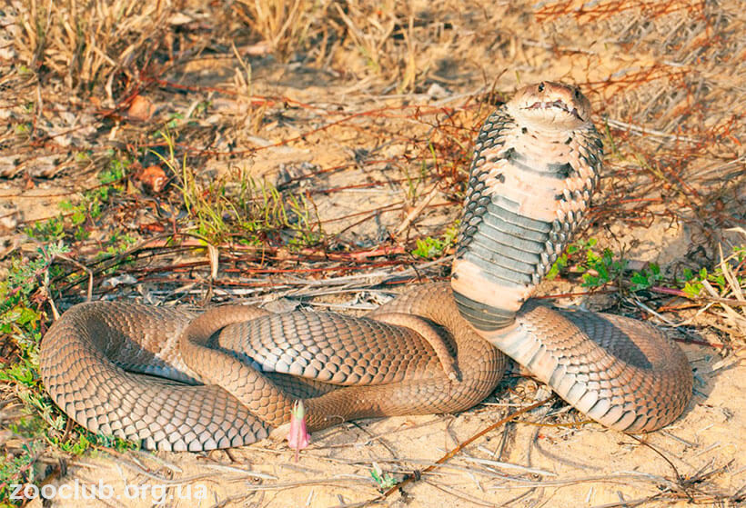 Мозамбикская кобра фото