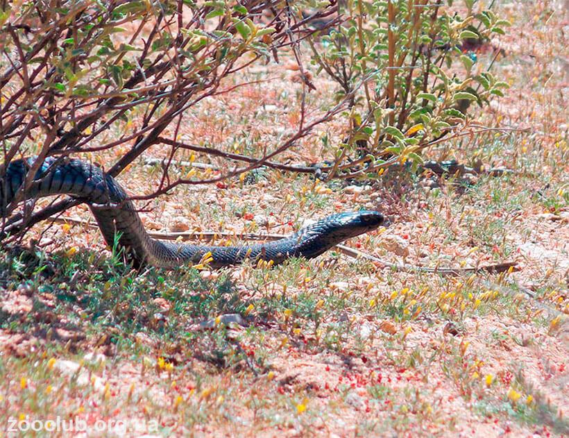Черношеяя кобра фото