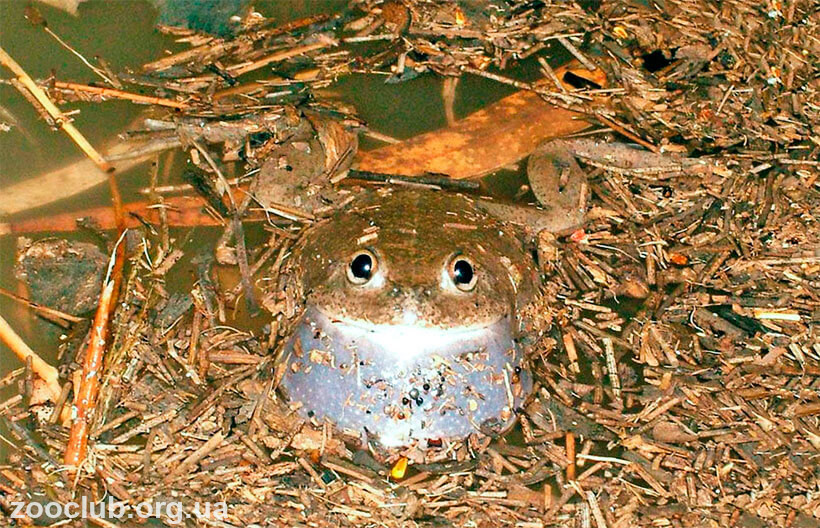фото пустынной австралийской жабы