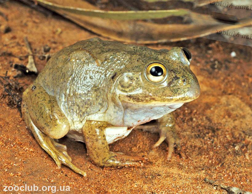 пустынная австралийская жаба