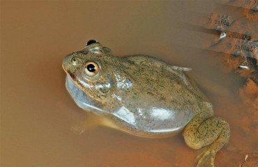 Плоскоголовая лопатница, или пустынная австралийская жаба