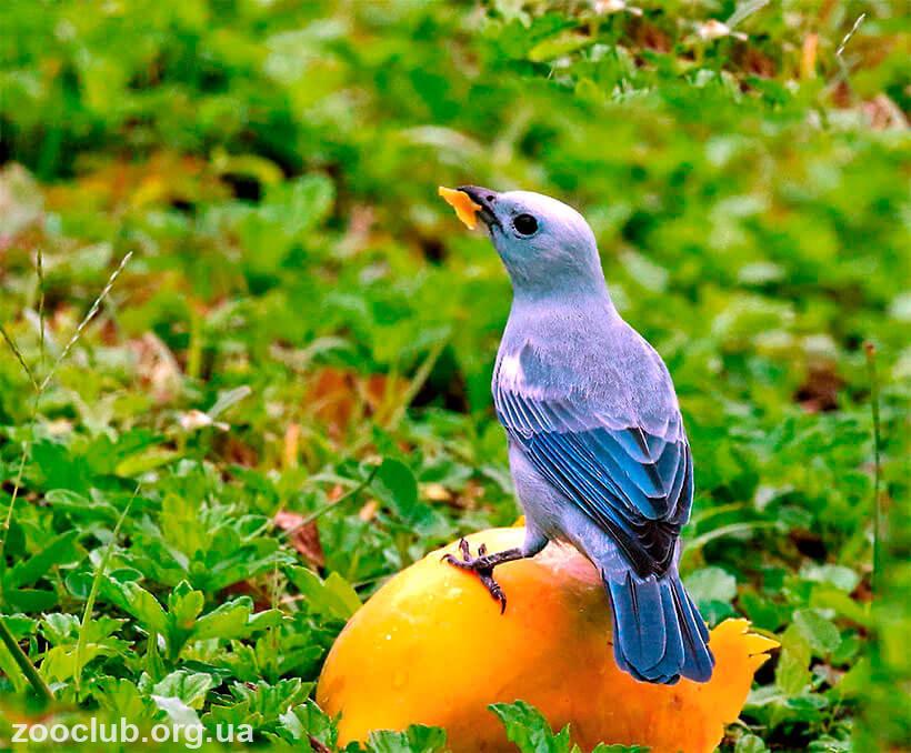 Фото танагры голубой