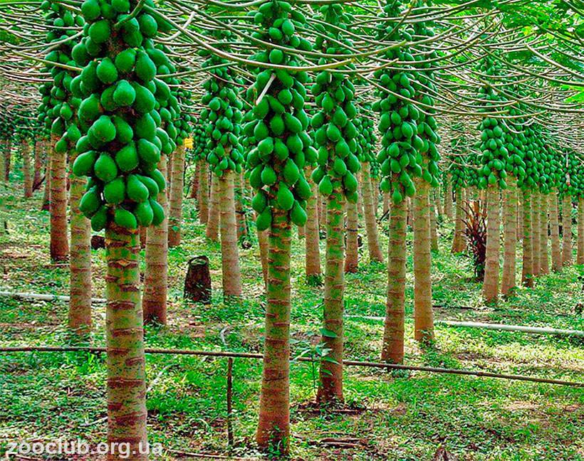 фото Carica papaya