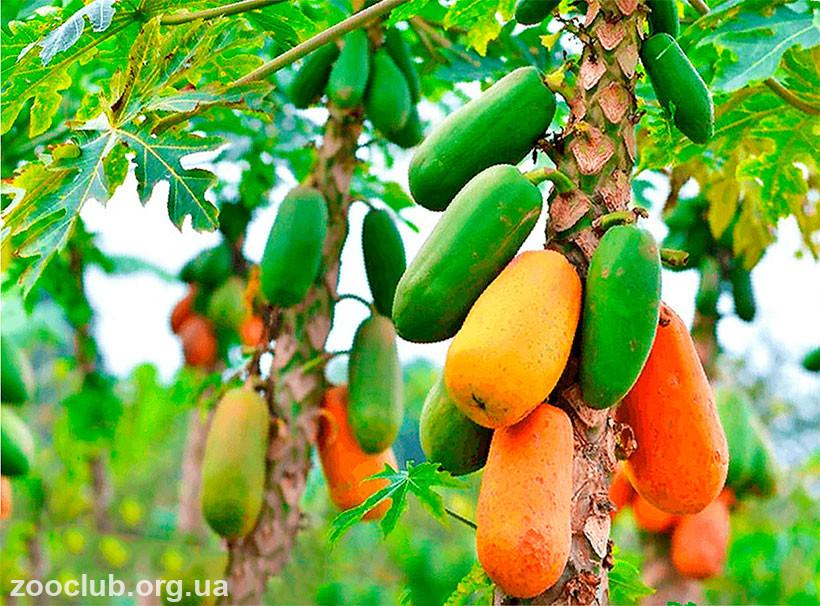 папайя: фото растения
