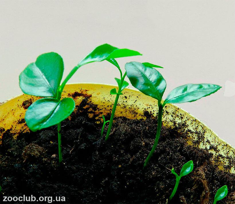 выращивание мандаринового дерева