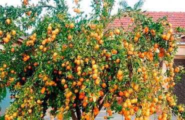 Як виростити мандаринове дерево