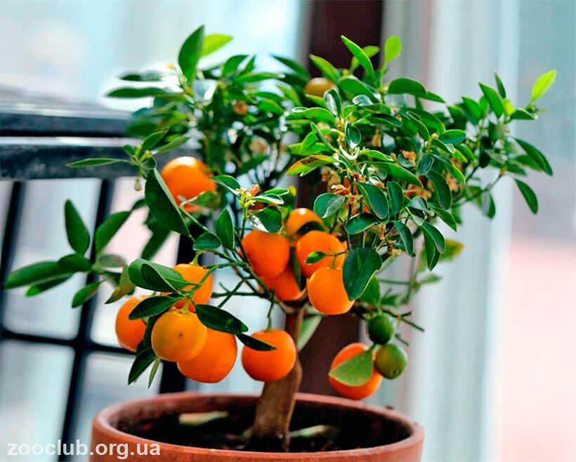 фото мандаринового дерева