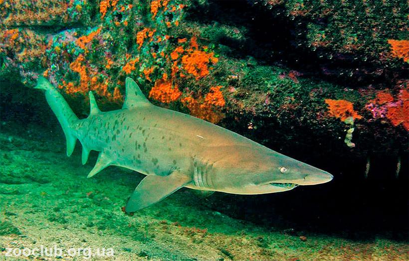 Фото обыкновенной песчаной акулы