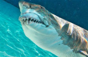Обыкновенная песчаная акула