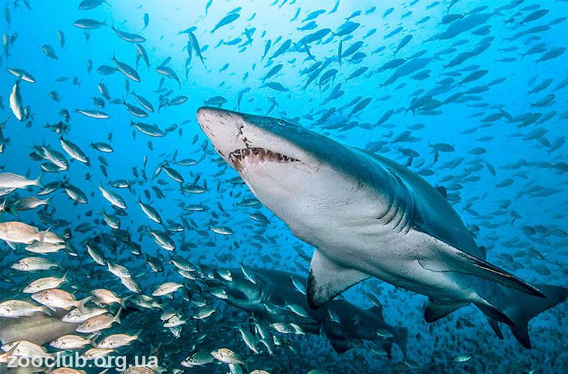 песчаная акула террария