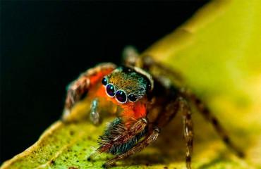 Королівський павук-скакун