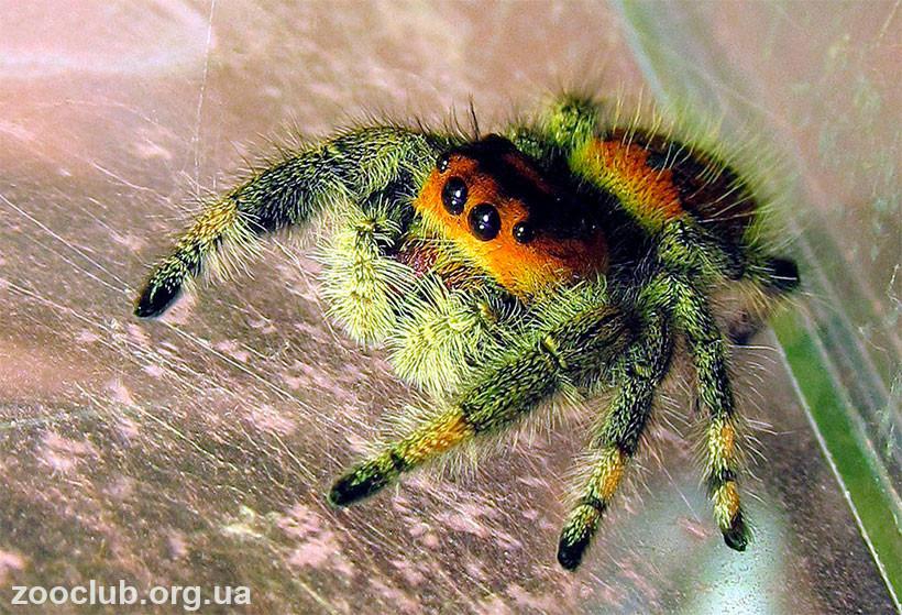 фото королевского паука-скакуна