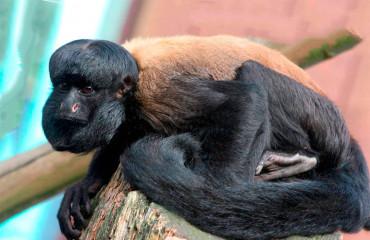 Черноспинный саки, или сатанинская обезьяна