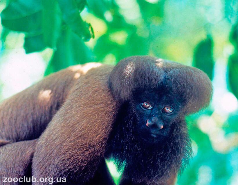 обезьяна фото