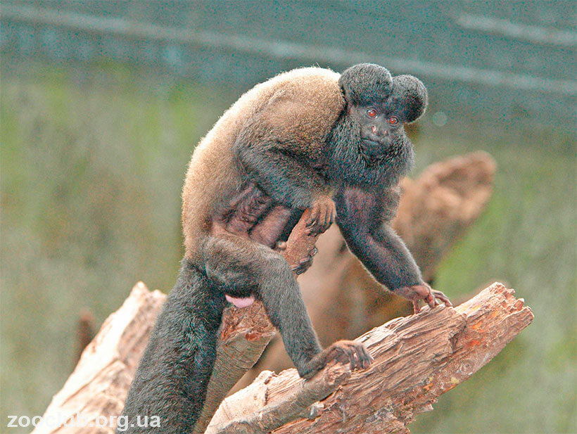 сатанинская обезьяна фото
