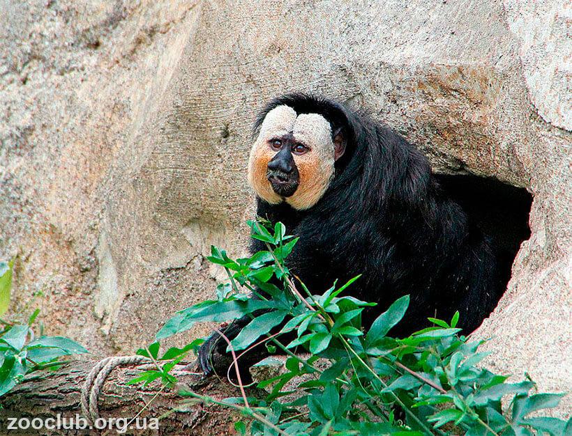 саки обезьяна