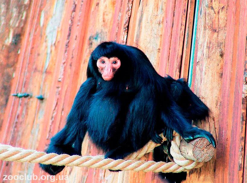 коата обезьяна