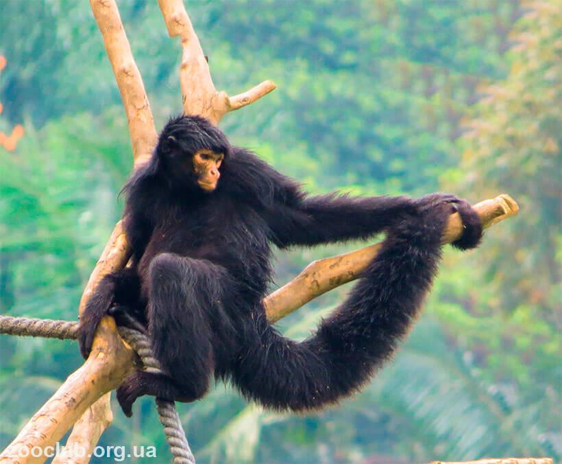 краснолицая обезьяна