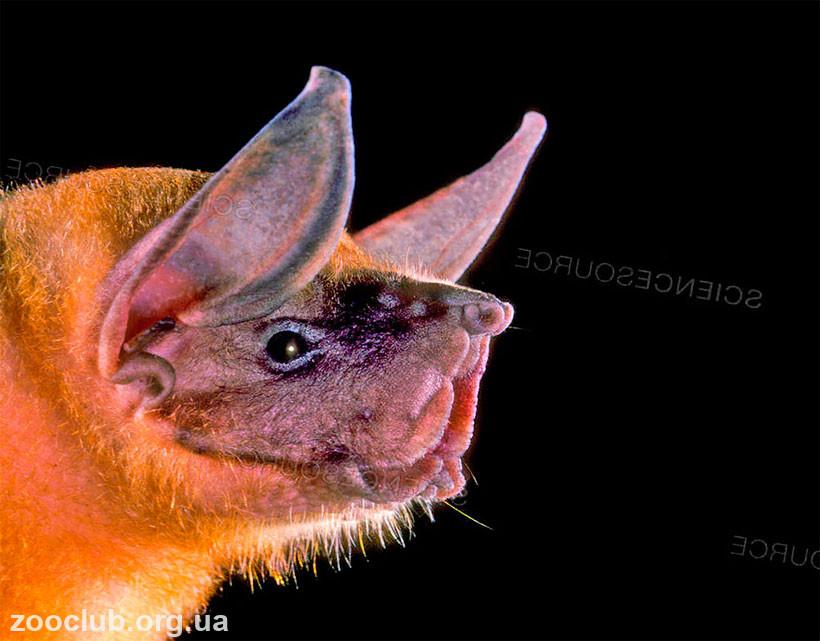 летучая мышь с широкими ноздрями