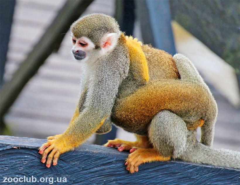 фото обыкновенной беличьей обезьяны