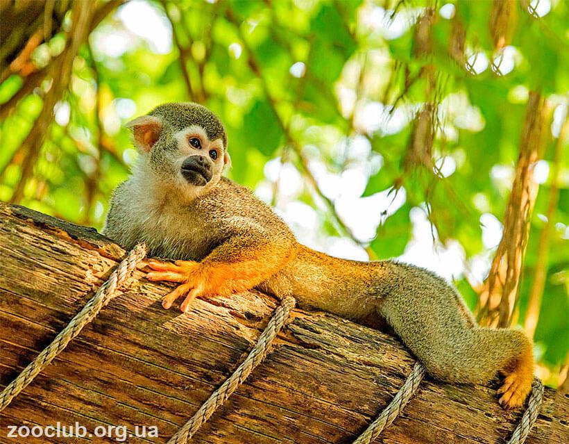 Обыкновенная беличья обезьяна фото