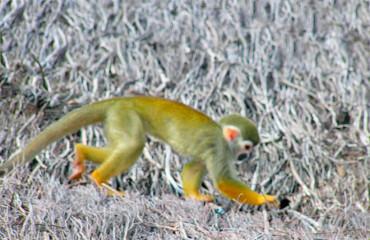 Звичайна біляча мавпа