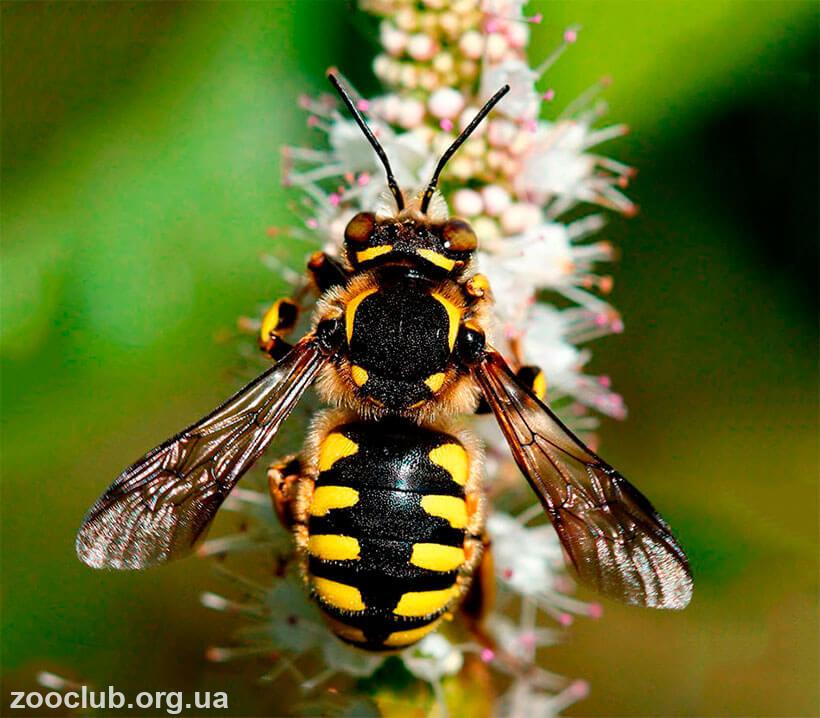 фото пчелы-шерстобита