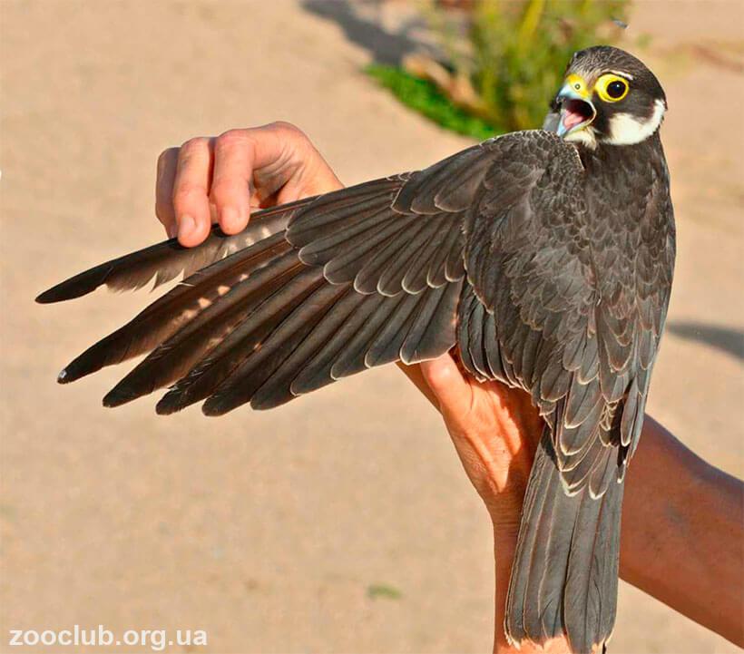 птица чеглок