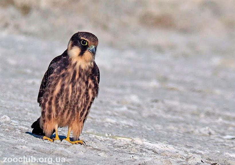Falco subbuteo фото