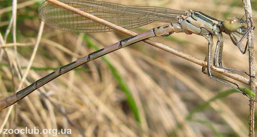 картинка Coenagrion hastulatum
