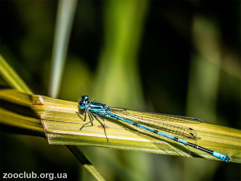 Coenagrion hastulatum фото