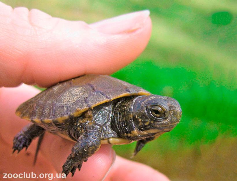 черепаха мраморная