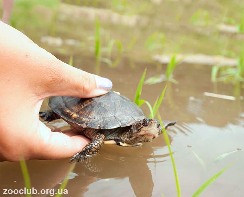 Мраморная черепаха фото