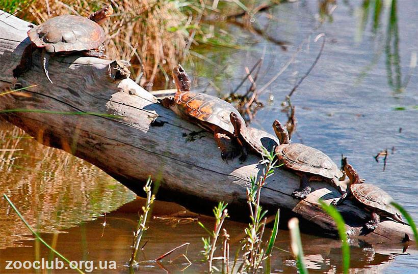фото мраморной черепахи