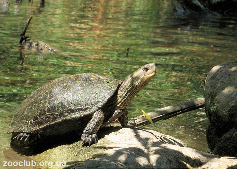 Мраморная черепаха