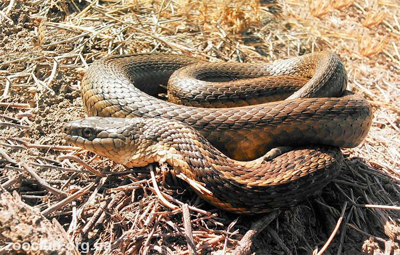 Гигантская подвязочная змея фото
