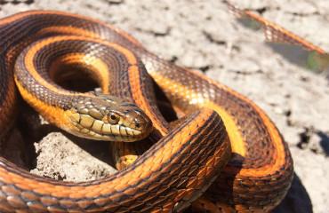 Гигантская подвязочная змея