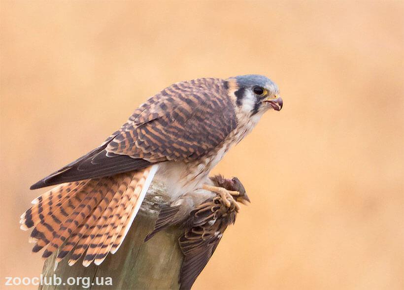 фото Falco sparverius