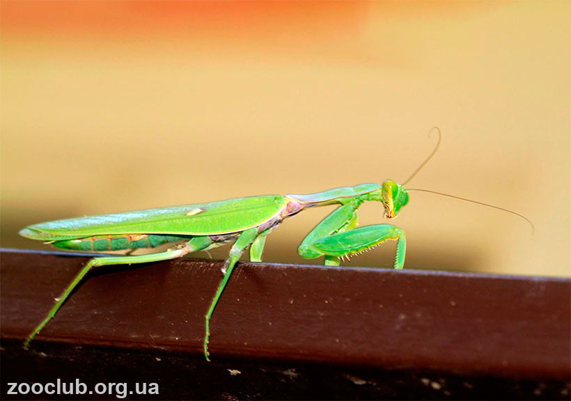 фото Sphodromantis lineola