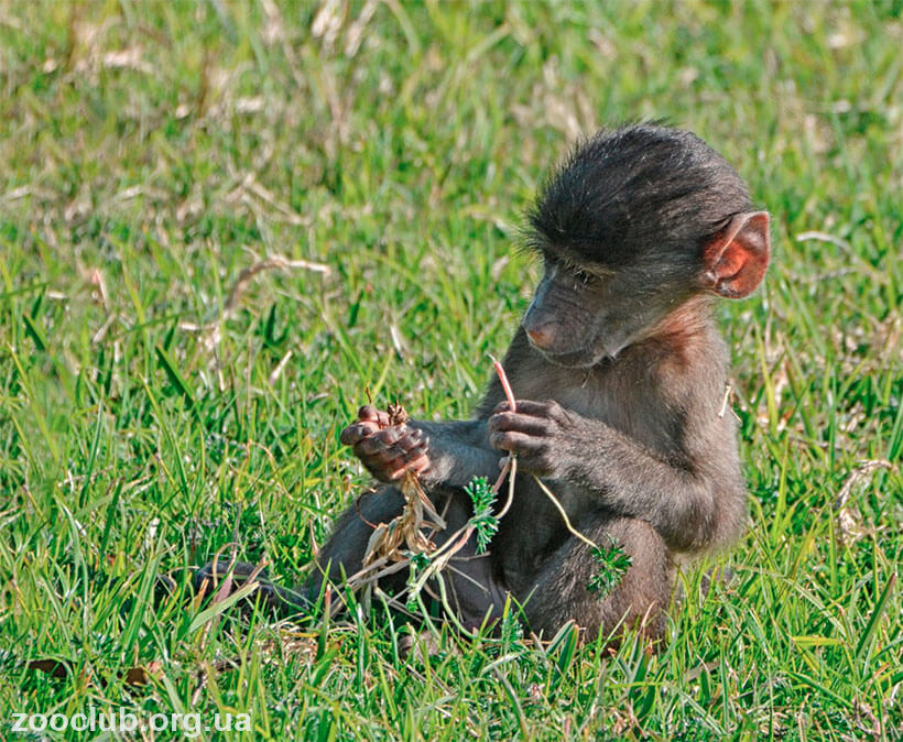 картинка с бабуином