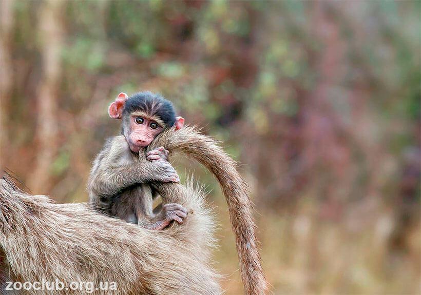 детёныш бабуина