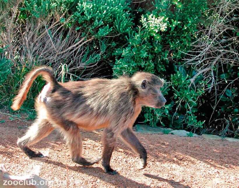 фото бабуина
