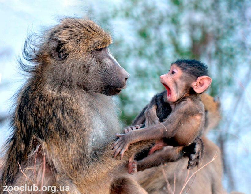 бабуин медвежий фото