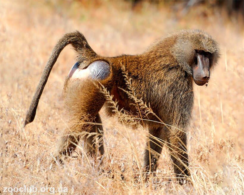 Гвинейский павиан фото