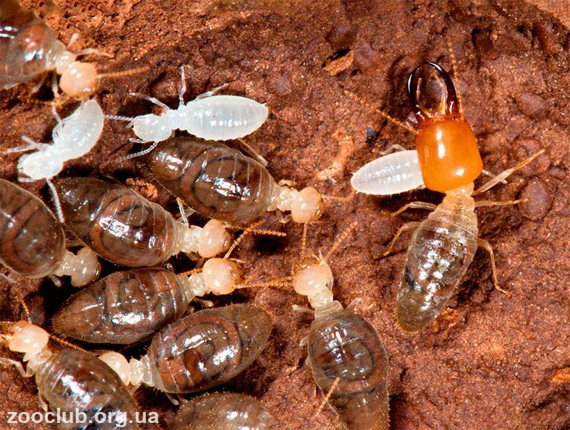 Термиты, Macrotermes bellicosus