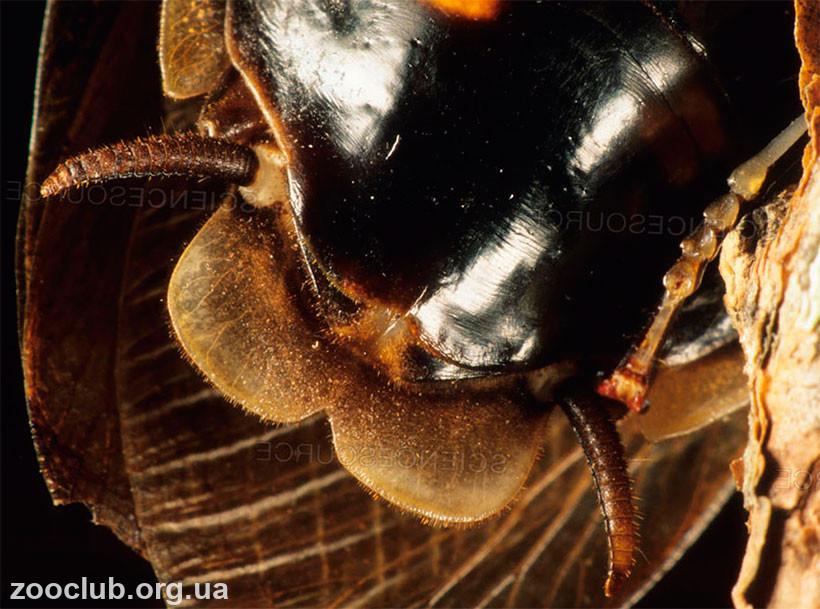 таракан мертвая голова фото