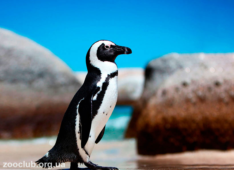Фото пингвина африканского