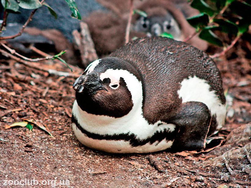 пингвин ослиный фото